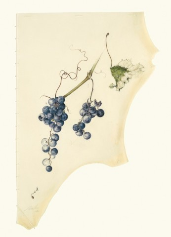 Kate Nessler, Concord grapes