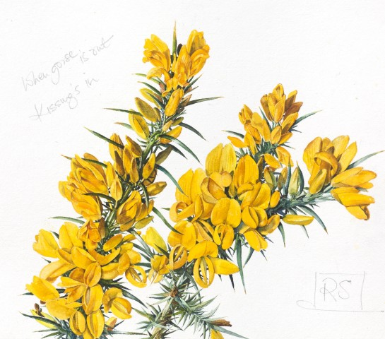 When Gorse is out, Kissing's in