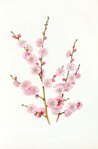 Mieko Ishikawa, Prunus mume 'Kenkyou' (Armeniaca mume)