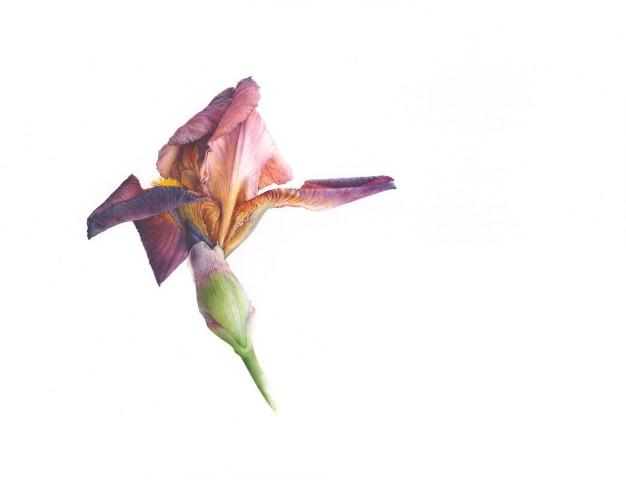 Iris (Iris 'Action Front')