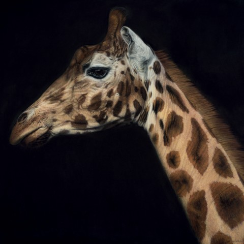 Rothschild's Giraffe - Large as Life III