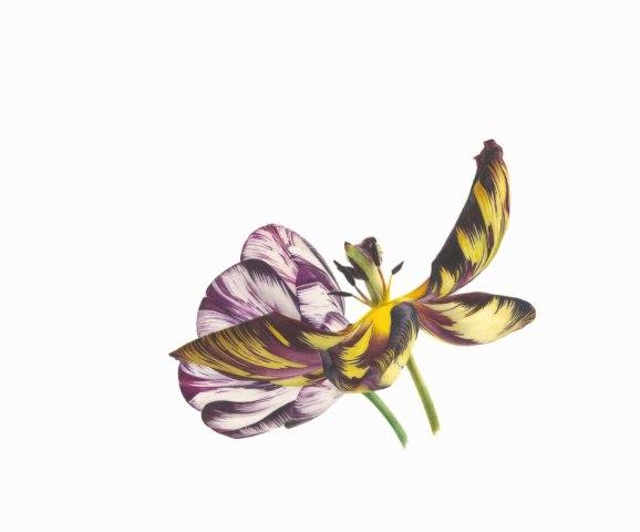 Fiona Strickland, Tulipa 'Joseph Paxton' and 'Adonis' feathered (English Florists' Tulips)