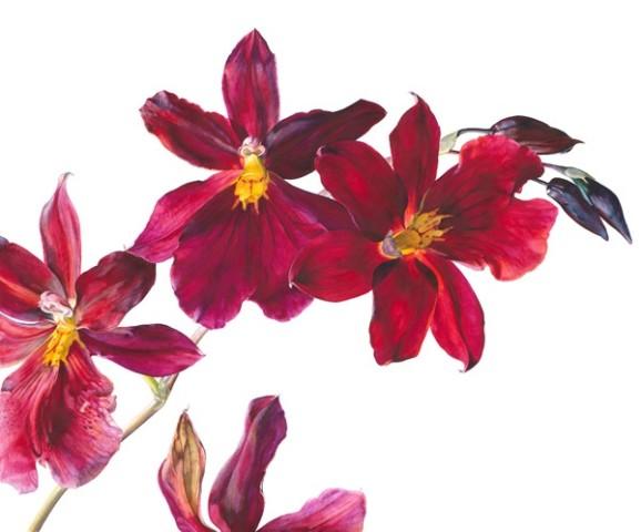 Rosie Sanders, Burrageara Nelly Isler Flowering I
