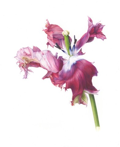 Fiona Strickland, Estella Rijnveld (Tulipa 'Estella Rijnveld')