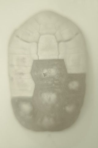 Daniel Malva, Gerochelone carbonaria, 2009