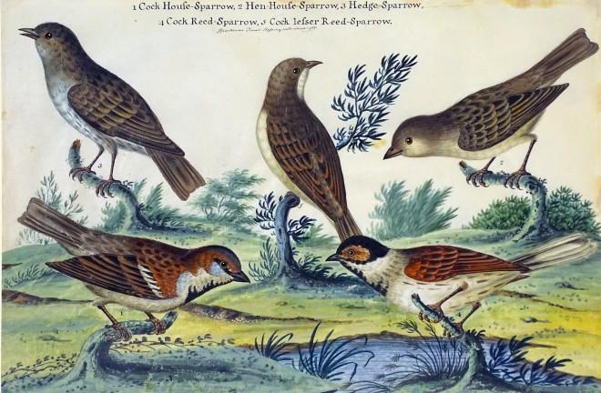 Studies of sparrows