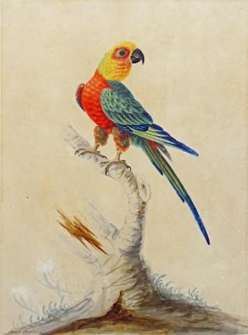 A Jandaya parakeet (Aratinga jandaya) standing on a branch