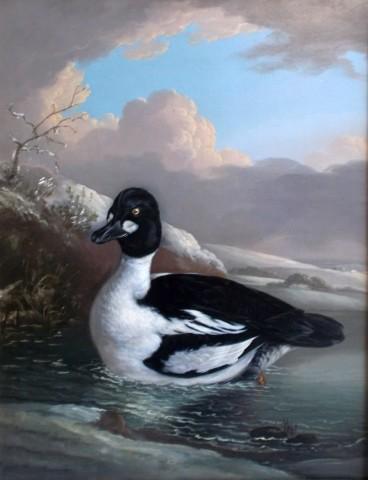 Three Ducks: A Goldeneye (Bucephala clangula); a brace of Teal (Anas crecca) and a Gadwall (Anas strepera)