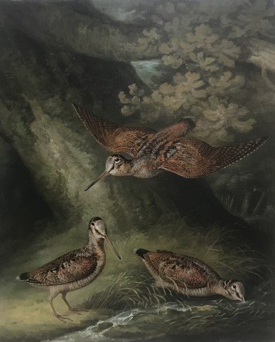 A study of woodcock in a woodland setting
