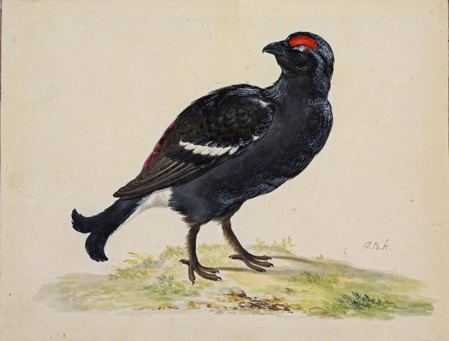 Johannes Bronkhorst, Study of a Blackcock