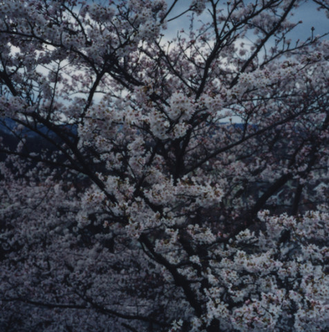 Balthasar Burkhard, Cherry Blossom