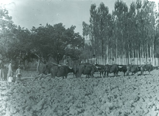 Rev. C.H. Stileman, Oxen treading millet, Late 19th Century