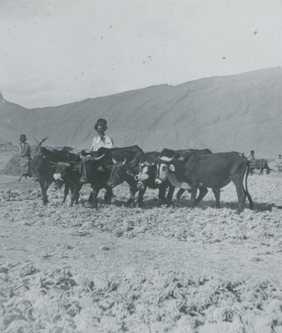 Not known, Ploughing (5-yoke), 2 yokes Buffaloes, 3 Oxen, Late 19th Century