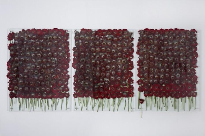 Anya Gallaccio, Preserve 'beauty', 1991-2017