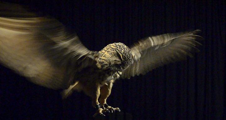 "<p><span class=""artist""><strong>Allan Forsyth</strong></span>, <span class=""title""><em>Pride & Glory, Eagle Owl</em>, 2015</span></p>"