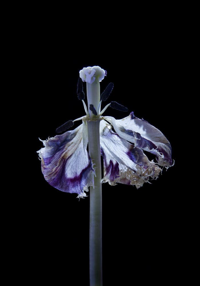 Carla van de Puttelaar  Hortus Nocturnum  Pigment print, mounted on dibond, black wooden frame and art glass  17 7/10 × 12 2/5 in  45 × 31.5 cm
