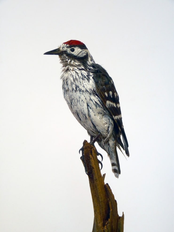 Marcus Coates Lesser spotted woodpecker (Picoides minor), 2014
