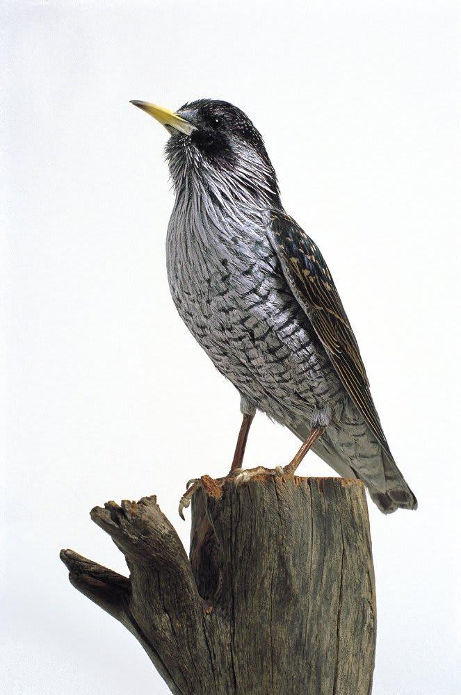 Marcus Coates, Peregrine Falcon, 1999
