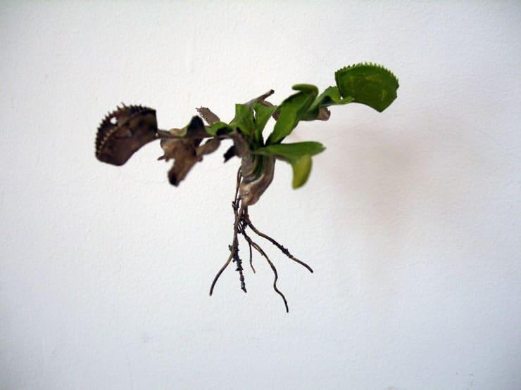 Jo Coupe, Uprooted (Dionaea muscipula), 2007
