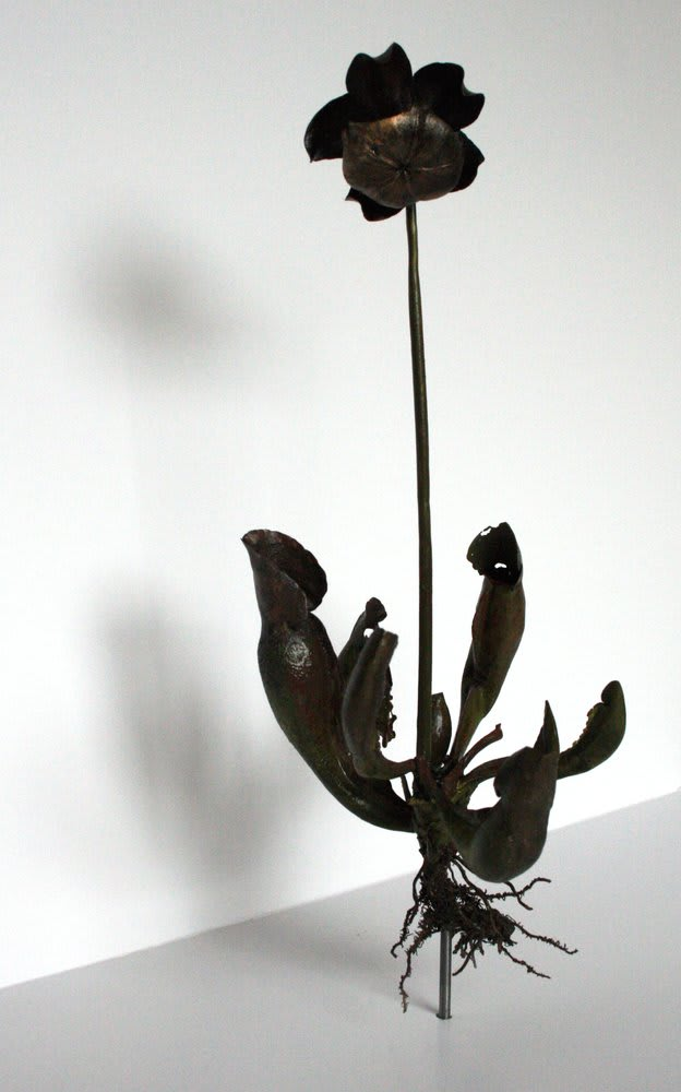 Jo Coupe, Uprooted (Sarracenia purpurea, Purple Pitcher Plant), 2006