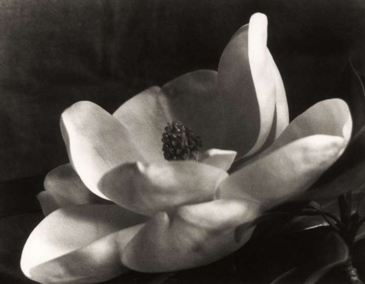 Imogen Cunningham - The First Magnolia