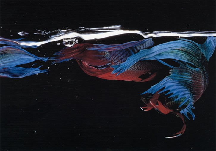 "<span class=""title"">Betta Splendens (05018), New York City<span class=""title_comma"">, </span></span><span class=""year"">1981</span>"