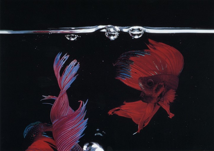 "<span class=""title"">Betta Splendens (13048), New York City<span class=""title_comma"">, </span></span><span class=""year"">1984</span>"