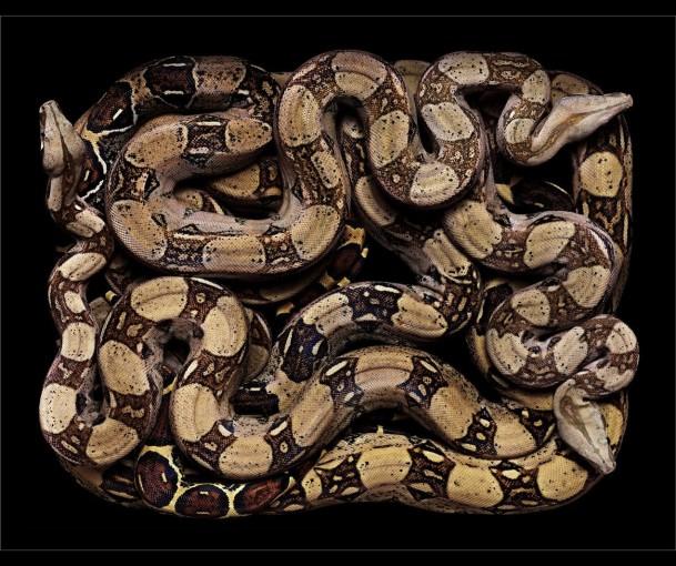 <em>Boa constrictor imperator (S15)</em>, 2002