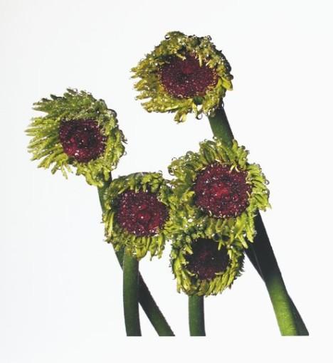 "<span class=""title"">Gerbera Daisy / Gerbera Asteraceae, New York<span class=""title_comma"">, </span></span><span class=""year"">2006</span>"