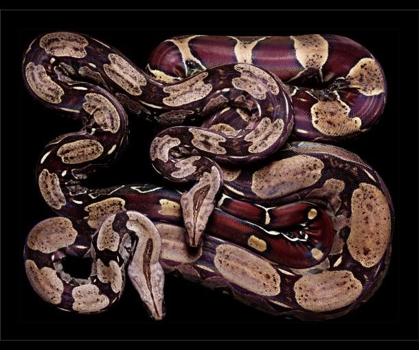 <em>Boa constrictor (S18)</em>, 2002