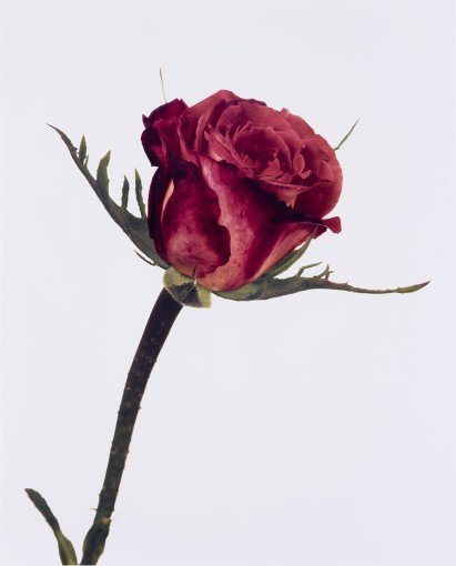 "<span class=""title"">Rose, Colour Wonder, London<span class=""title_comma"">, </span></span><span class=""year"">1970</span>"