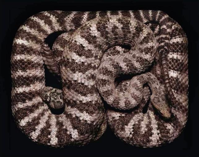 <em>Crotalus tigris (S52)</em>