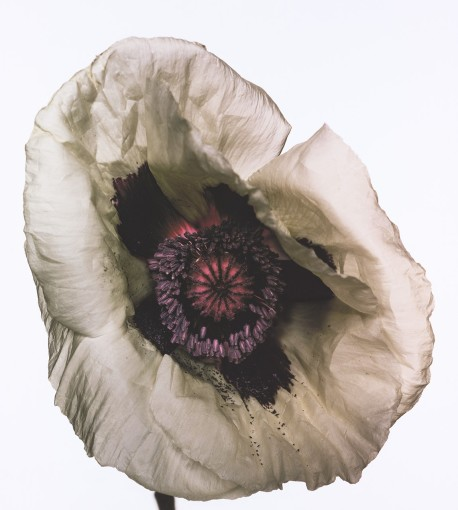 "<span class=""title"">Poppy: Barr's White, New York<span class=""title_comma"">, </span></span><span class=""year"">1968</span>"