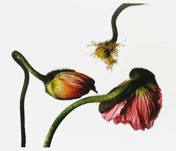 """<span class=""""title"""">Iceland Poppy/Papaver Nudicaule (G), New York<span class=""""title_comma"""">, </span></span><span class=""""year"""">2006</span>"""