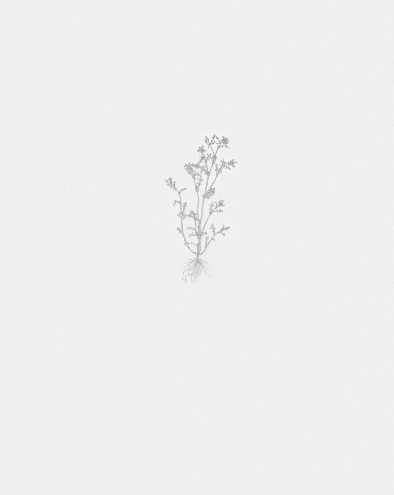 Common Groundsel 2 (nourishment series)