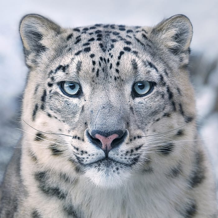 Tim Flach, Snow Leopard, 2017