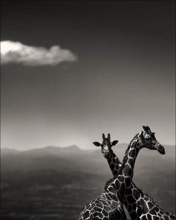Joachim Schmeisser, Giraffe Couple, 2019