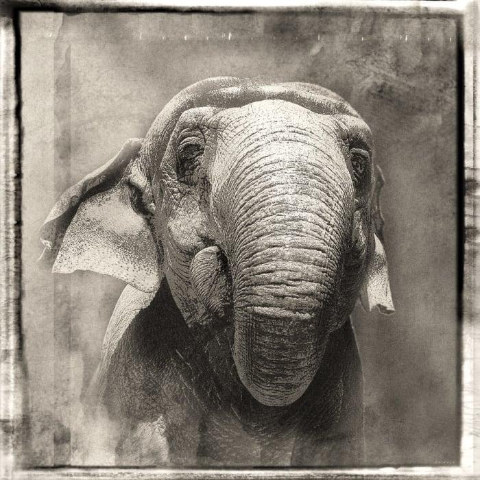 Jan Gulfoss, Elephant portrait, c. 2013-2016