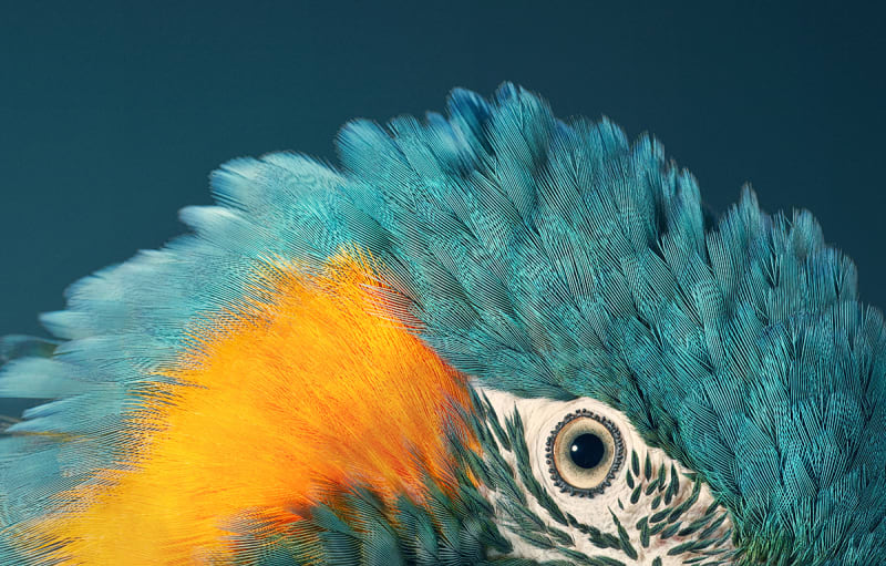 Tim Flach, Blue Throated Macaw, 2017