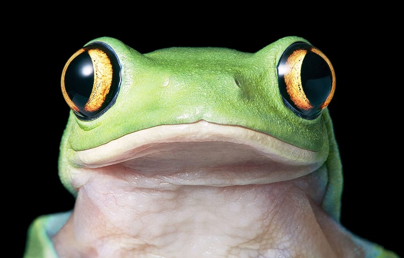 Tim Flach, Yellow Eye Tree-Frog, 2017
