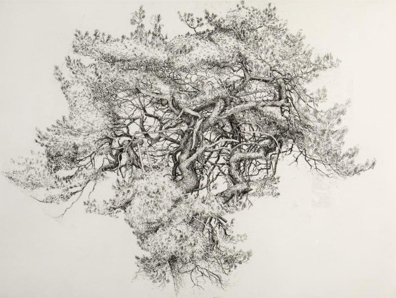 Ian Westacott, Gashagaich Tattie Patch Pine, 2021
