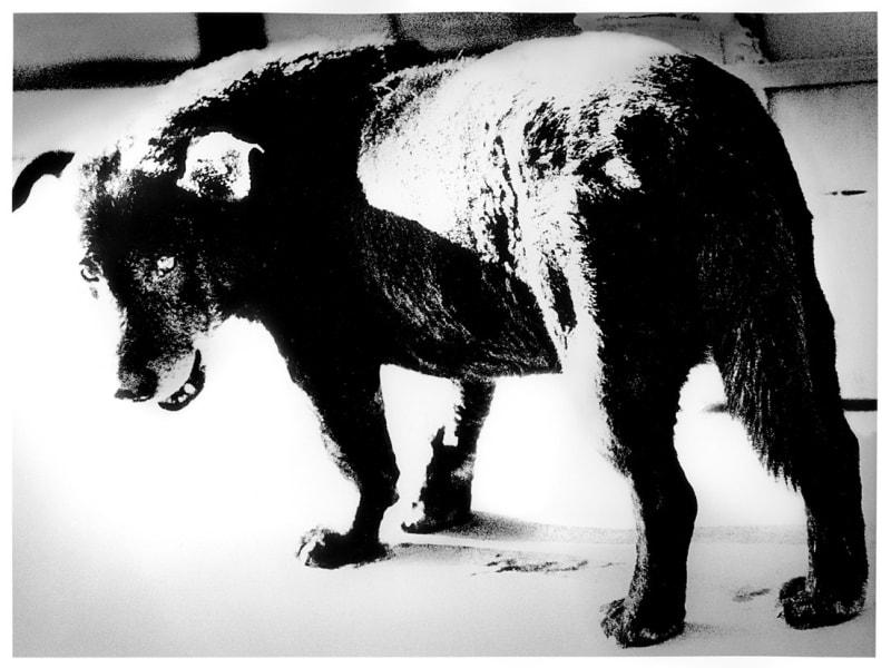 Daido Moriyama 森山大道, Stray Dog, Misawa (野犬), 1971