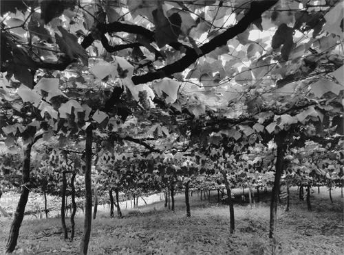 Linda Butler, Grape Vineyard, 2000