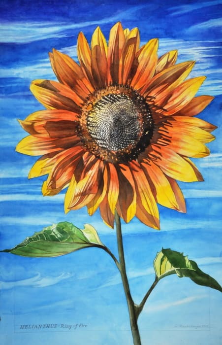 George Mauersberger, Helianthus - Ring of Fire, 2015