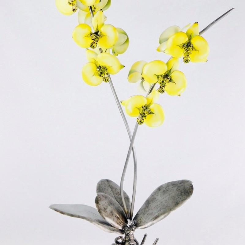 Evans - Lady Godiva Orchid