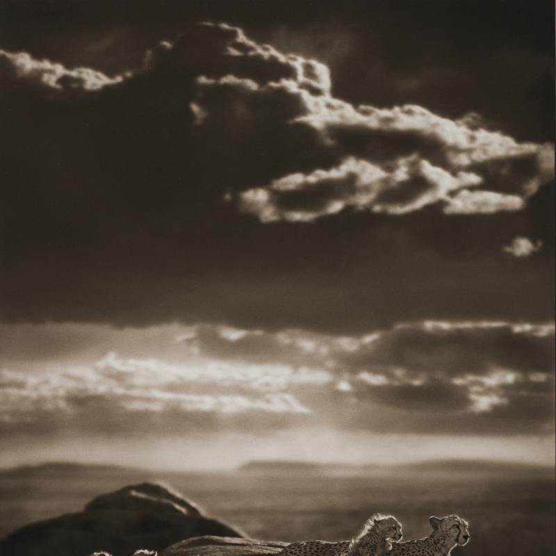 Nick Brandt, Cheetah & Cubs Lying on Rock, Serengeti , 2007
