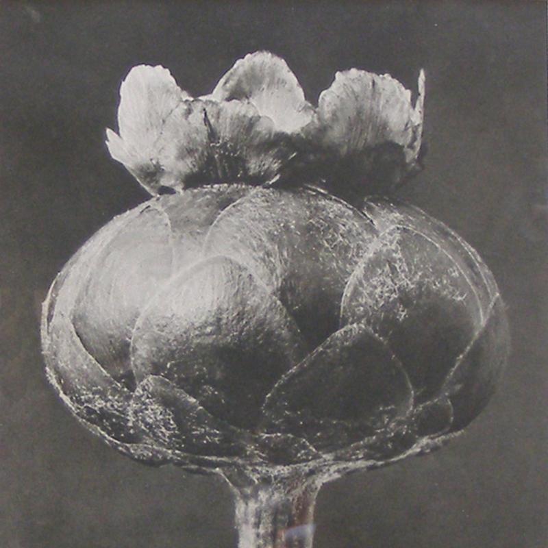 Karl Blossfeldt, Flower Bud