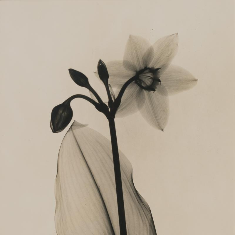 Dain Tasker, Amazon Lily, Circa 1930