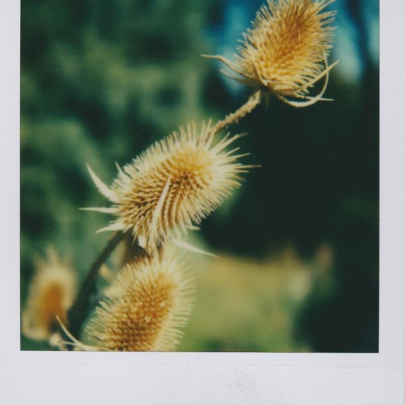 Marion Dubier-Clark Chardons Polaroid 7,7 x 7,9 cm 2.76 x 2.76 in Dim. papier: 10,7 x 8,8 cm