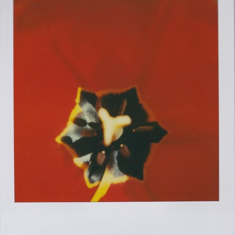 Marion Dubier-Clark Poppy Polaroid 7,7 x 7,9 cm 2.76 x 2.76 in Dim. papier: 10,7 x 8,8 cm